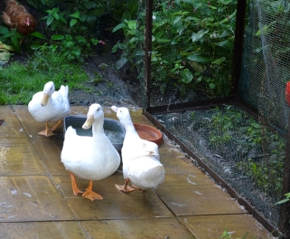 Our 3 Ayelsbury Ducks Ed, Gemima and Daisy with a hen watching from the bushes
