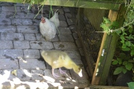 Liddy (Chinese Bantam) with our latest gosling
